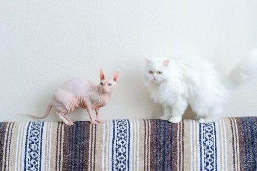 ソファーに居る2匹の猫