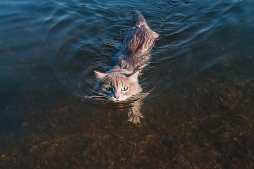 湖で泳いでいる猫