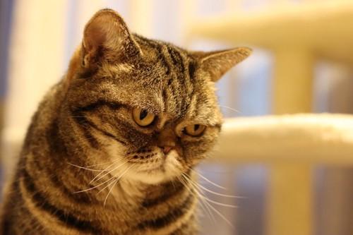 ふてくされたように下を見る猫