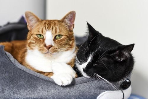 猫ベッドの茶白と白黒
