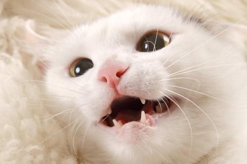 口を半開きにしている白猫の顔アップ