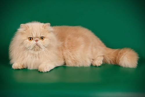 グリーンの壁と茶色のペルシャ猫