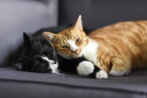 くっついて眠る二匹の猫