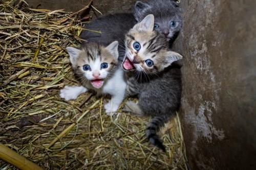 岩陰で鳴く子猫2匹