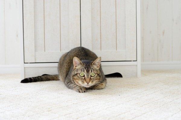 室内で伏せるキジ猫
