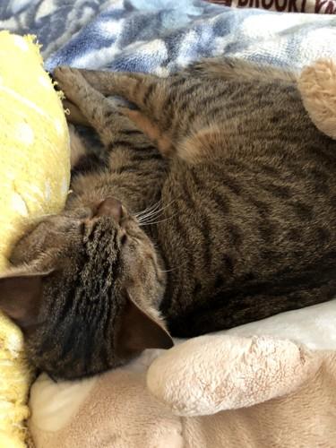 毛布にくるまり眠るキジトラ