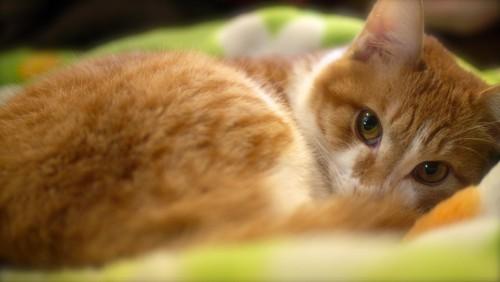#黄緑の毛布の中からこちらを見ている猫#
