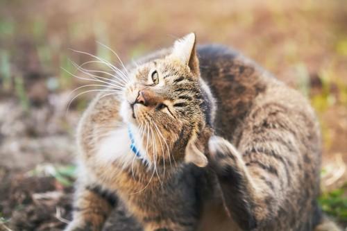 後ろ足で耳を掻いている猫