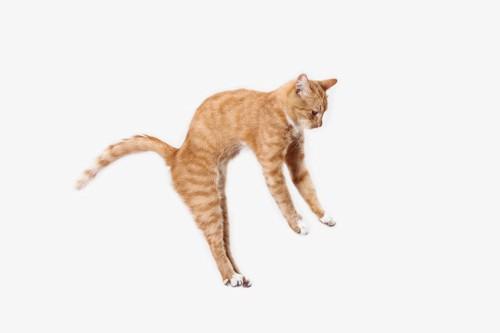 ジャンプする茶トラ猫