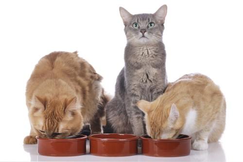 並んでご飯を食べる三匹の猫