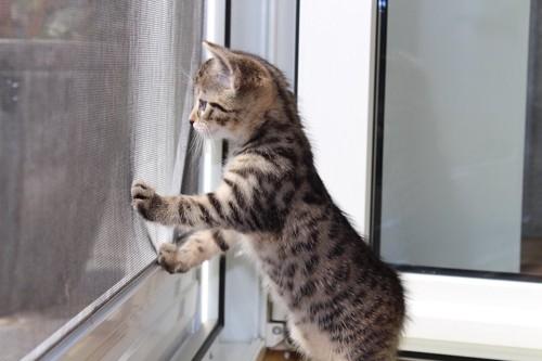 窓に手をついて外を見る子猫