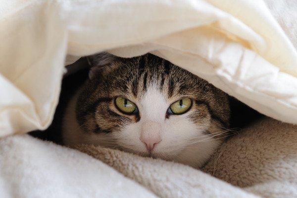 布団のからのぞく猫