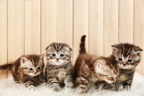スコティッシュフォールドの子猫たち