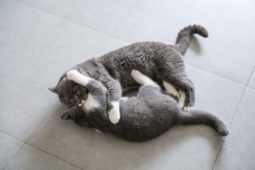 とっくみ合う二匹の猫