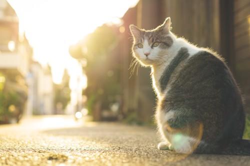 道路に座って振り返る野良猫