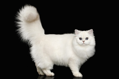 太いしっぽの白猫