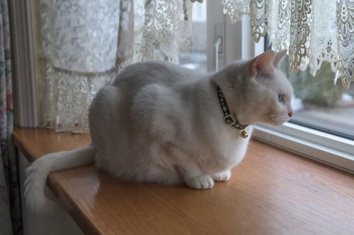 窓の外を見る白猫