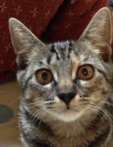 耳が大きめな子猫