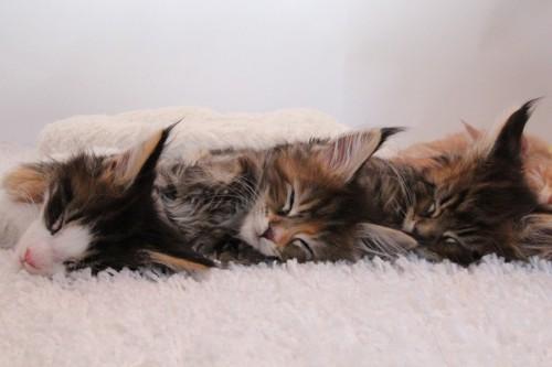 同じ向きに寝る子猫