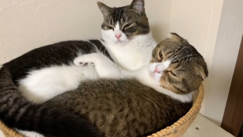 キャットタワのかごに入る2匹の猫