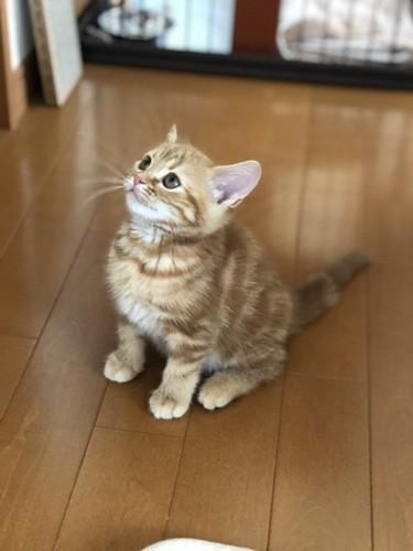 フローリングに座るレッドのアメリカンショートヘアの子猫