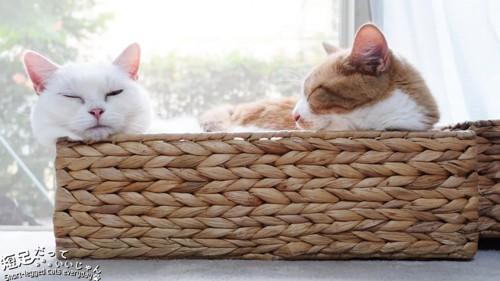 かごに入る2匹の猫