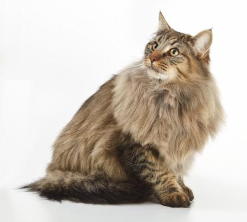 座って見上げる長毛猫