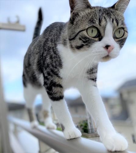 ベランダの手すりを歩く猫