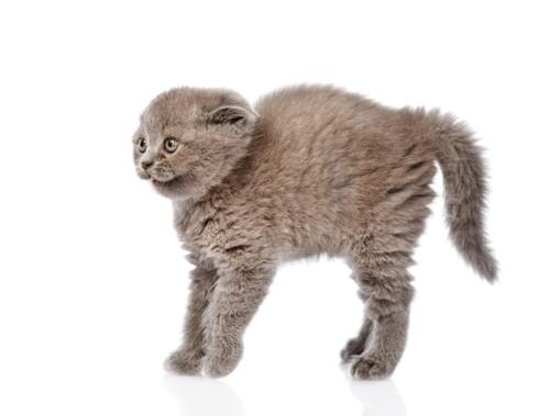毛が逆立つ猫