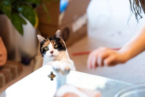立ち上がってテーブルに手を置く猫
