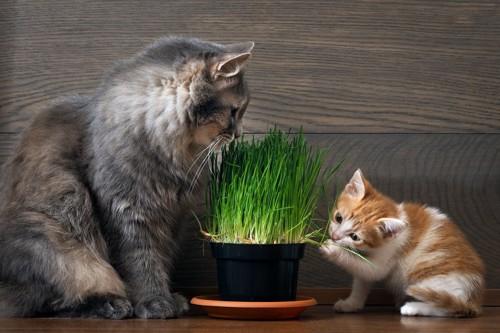猫草を見つめる親猫と触る子猫