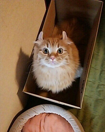 箱の中からこちらを見上げるアメリカンカール