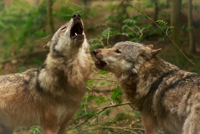 鳴くオオカミ