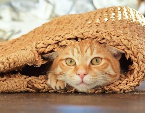 カゴバックの中に入る茶トラ猫