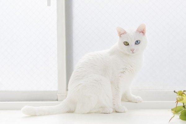 窓際にいる白い猫