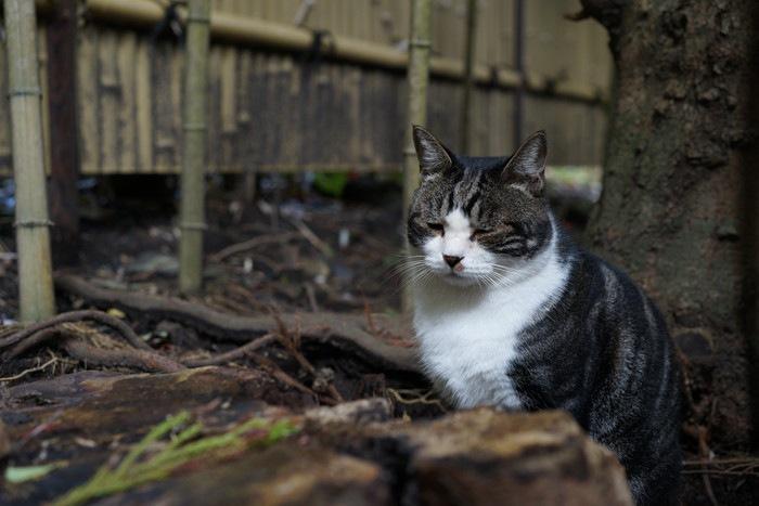 サバトラ柄ハチワレ猫