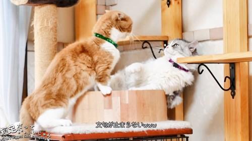 長毛猫に向かって鳴く猫