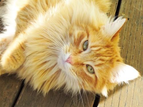 横になってこちらを見あげるたてがみのある猫