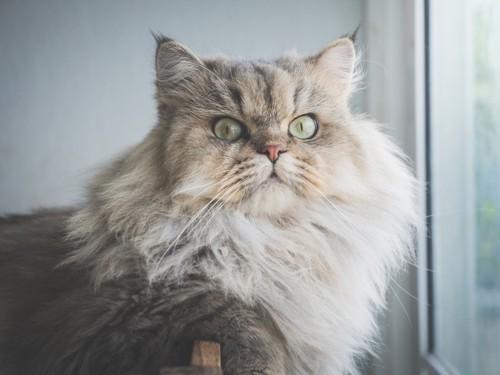 窓に座る長毛種