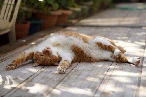 ヘソ天で眠る猫