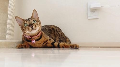 伏せの姿勢の猫