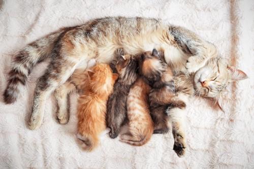 授乳中の猫の親子