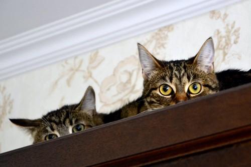 棚の上で隠れている2匹の猫
