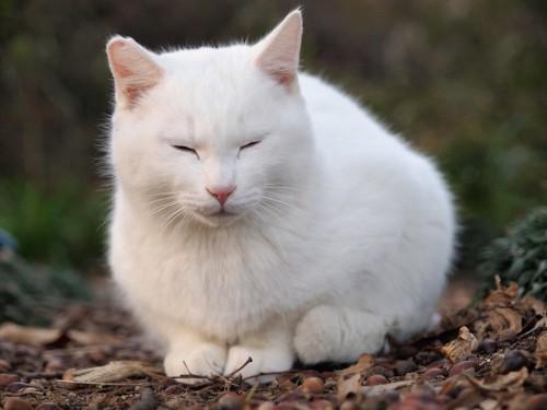 落ち葉の上で目を閉じた白猫