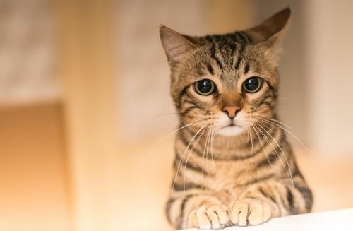 前足を揃えて悲しげな表情をする猫
