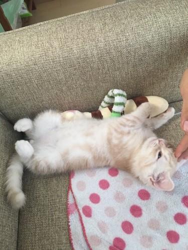 仰向けで寝っ転がるスコティッシュフォールドの子猫