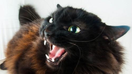 見上げて威嚇する黒猫
