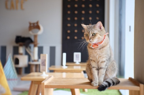 カフェのテーブルの上に乗っている猫