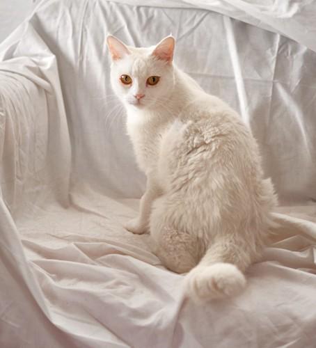 白いカバーがかけられたソファに乗る白猫