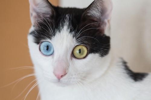 目を見開くオッドアイの猫